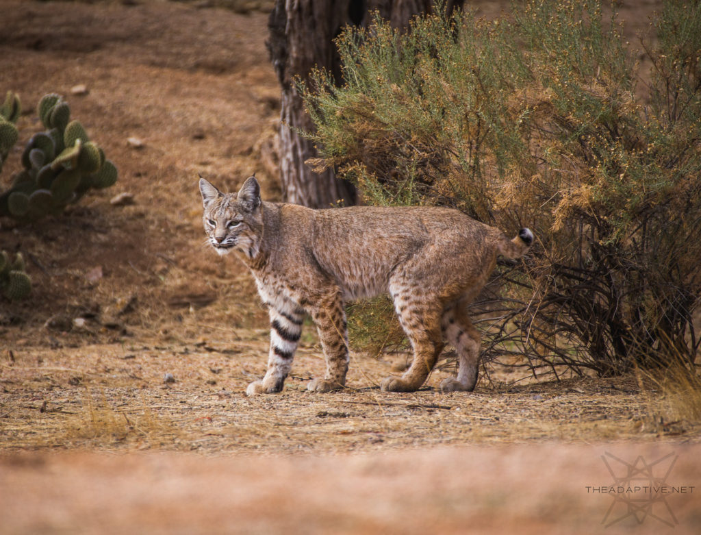 Bobcat in Scottsdale, Arizona